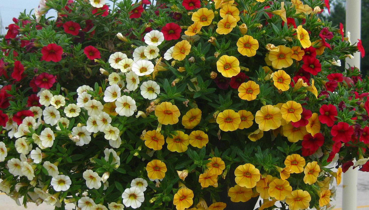 Mini Petunia Calibrachoa from Hoods Gardens