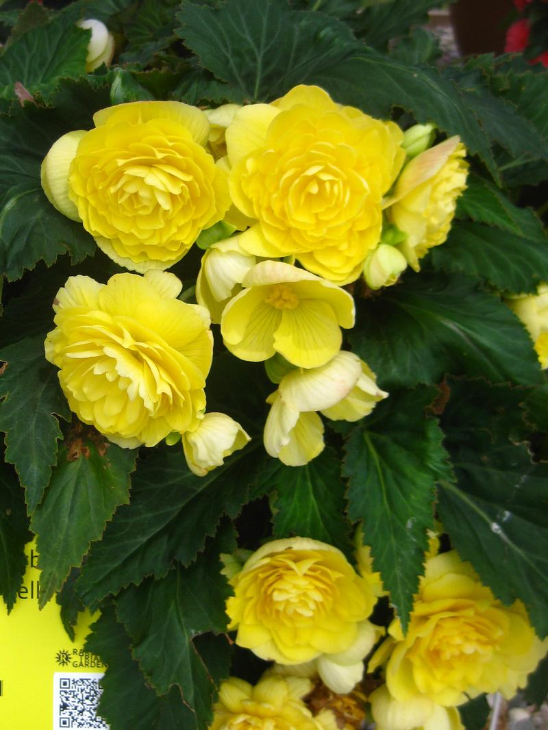 Nonstop Begonia from Hoods Gardens