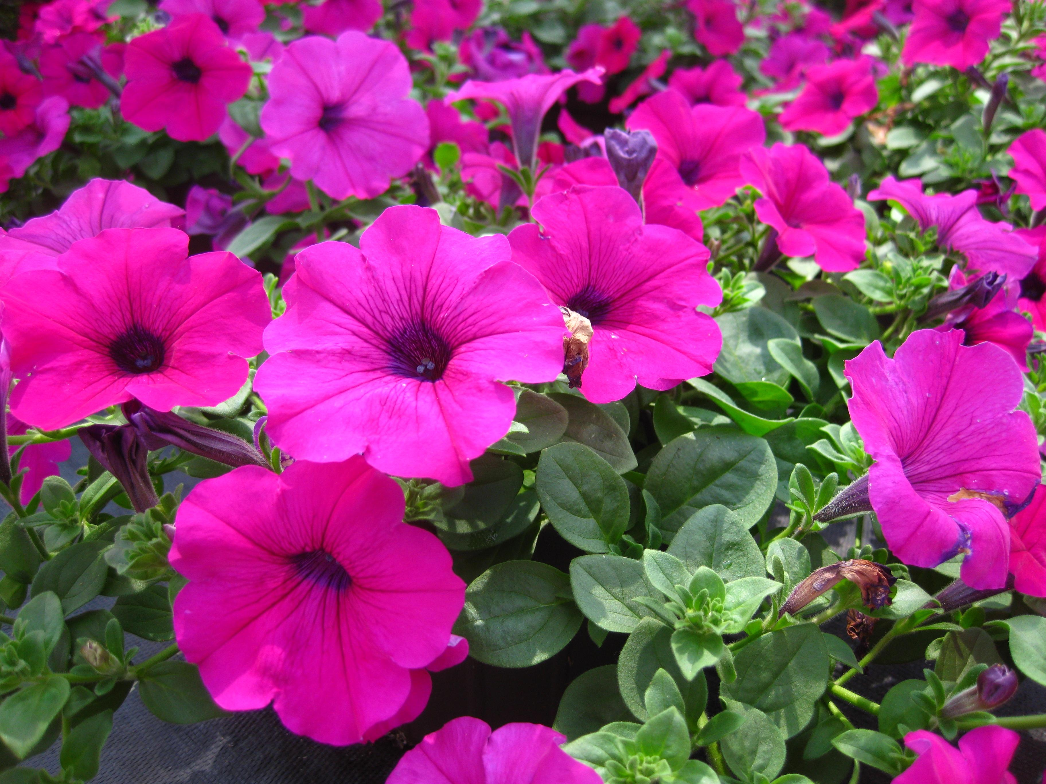Wave Petunia from Hoods Gardens