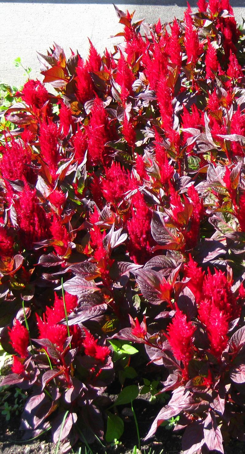 New Look Celosia from Hoods Gardens