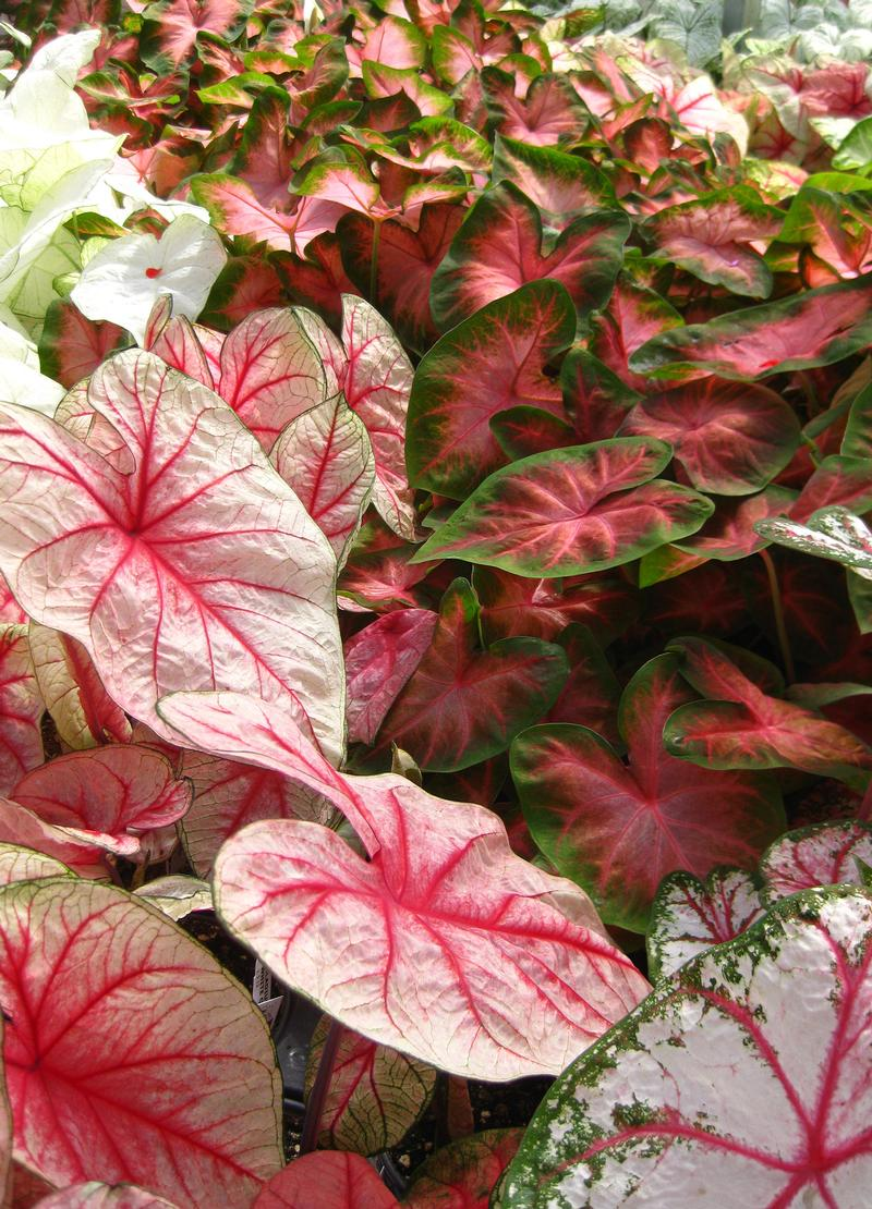 Caladiums from Hoods Gardens