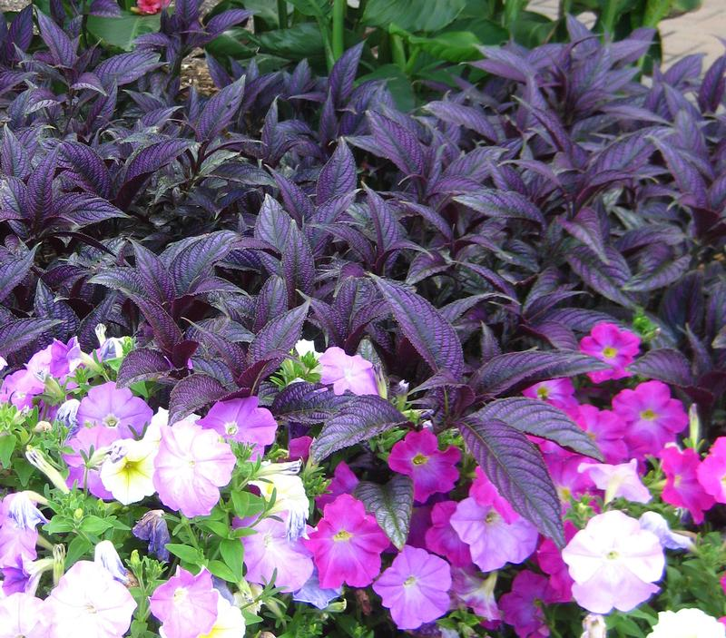 Persian Shield Strobilanthes from Hoods Gardens