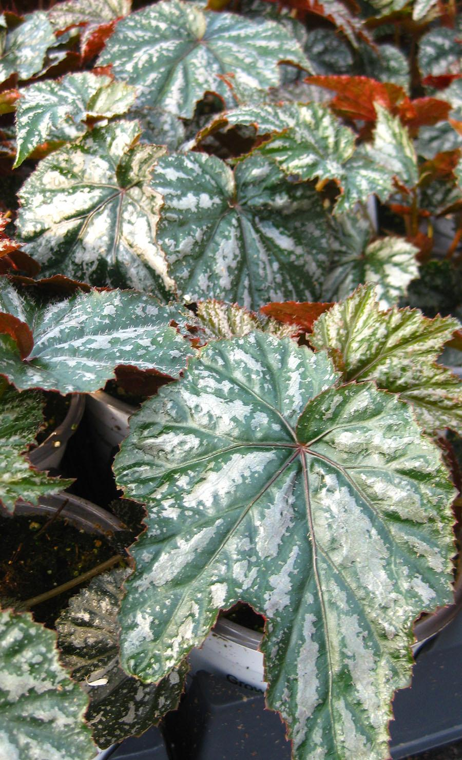 Gryphon Begonia from Hoods Gardens